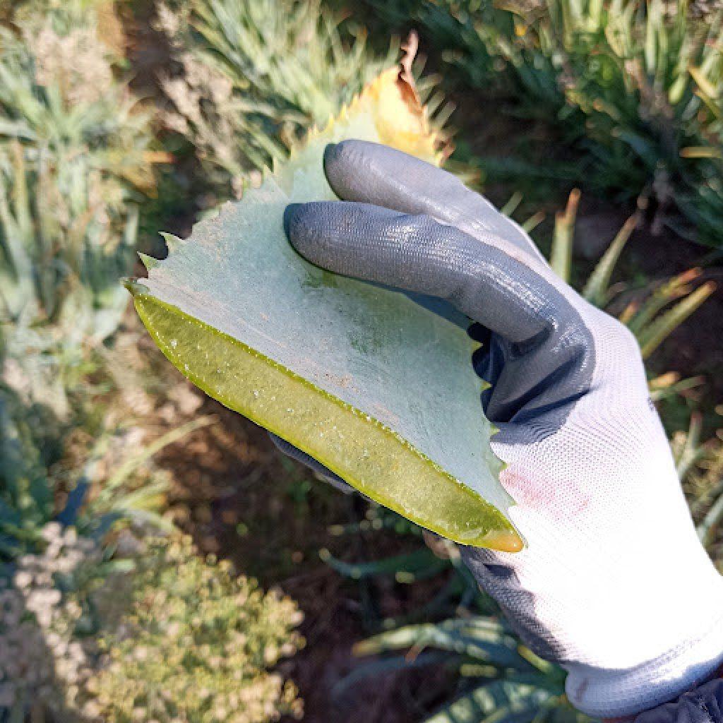 Le dosi consigliate da padre Zago per l'assunzione di Aloe Arborescens