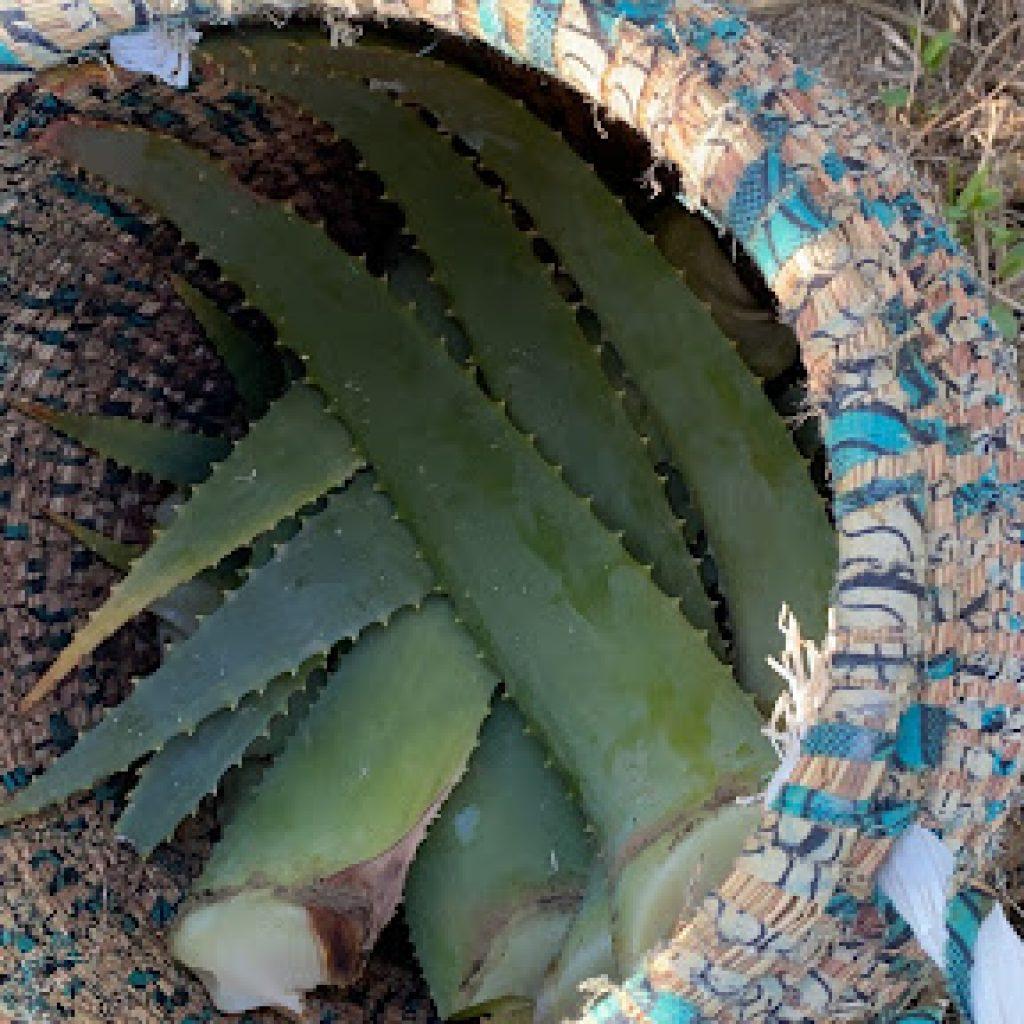 Dove acquistare l'Aloe Arborescens e quanto costa