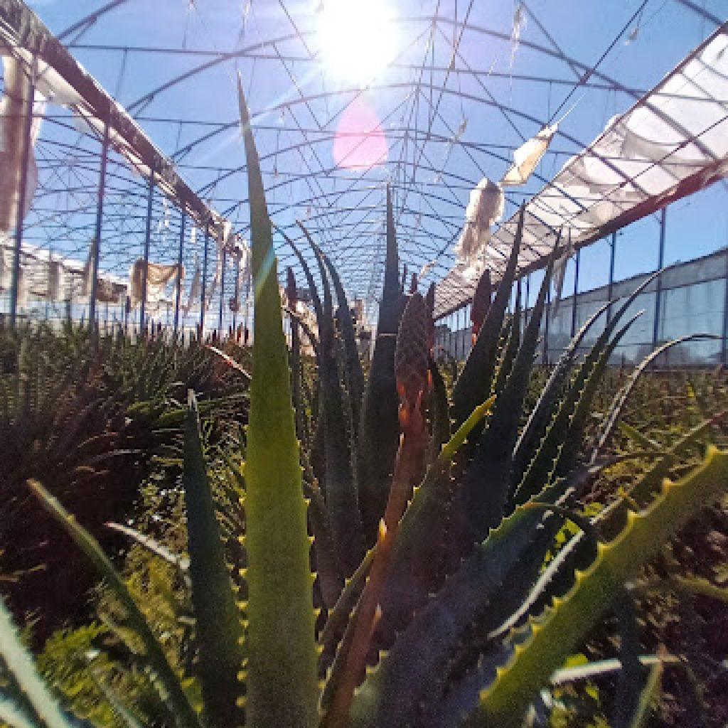 Come riconoscere l'Aloe Arborescens? Foto, immagini e tipi di Aloe