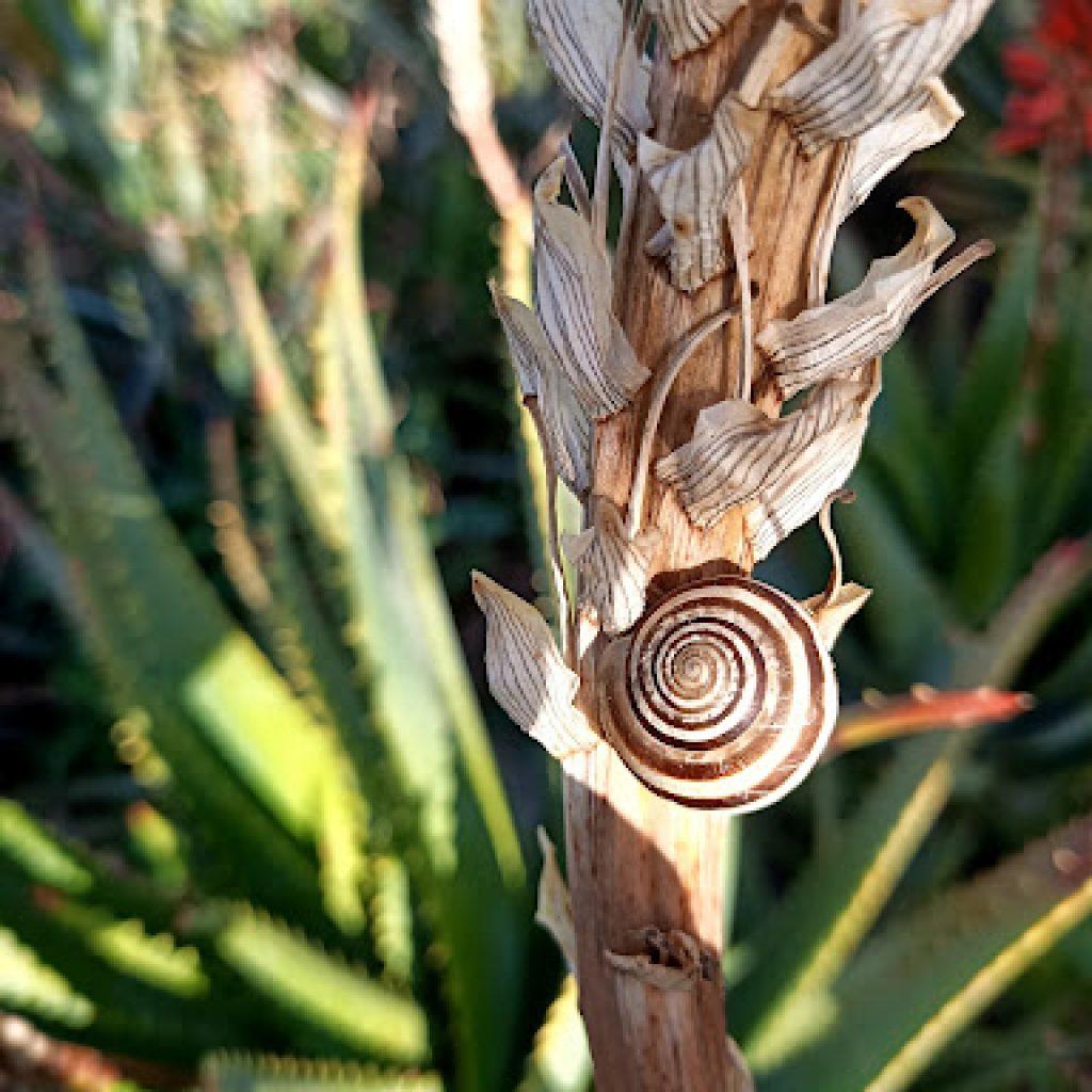 Coltivazione di Aloe Arborescens biologica e certificata